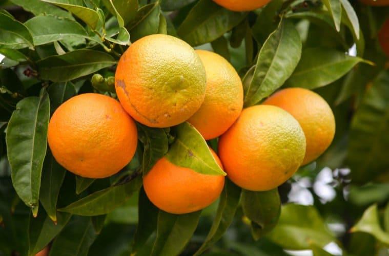 adubação em citros