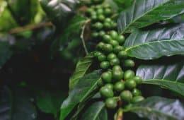 adubação para café