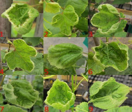 Deriva de dicamba em uva (Fonte: Wolfe)