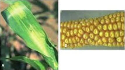 Fitotoxidade de nicosulfuron em milho (Fonte: Karam)