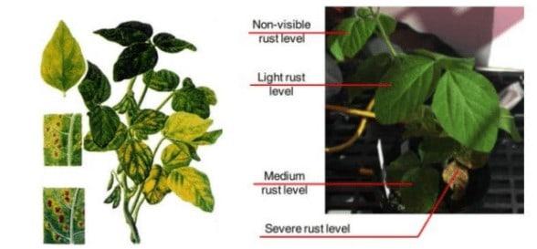 sensoriamento remoto para identificar sintomas de ferrugem em soja.