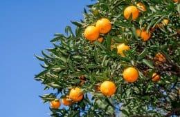 laranja hamlin