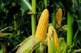 mercado do milho 2020
