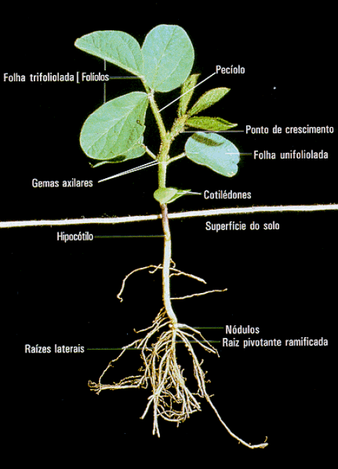 ciclo da soja