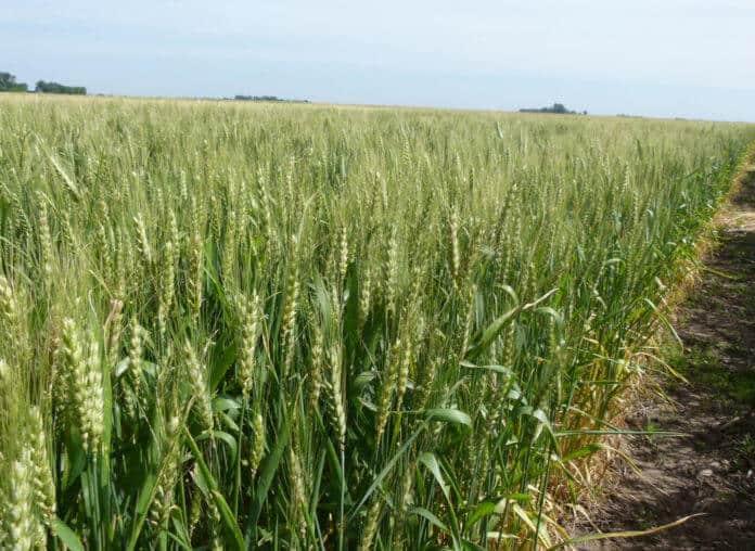 preparo do solo para plantio de trigo