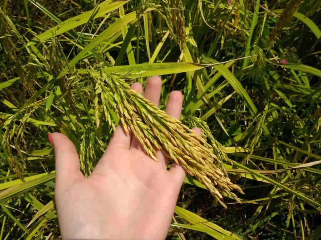 armazenagem do arroz