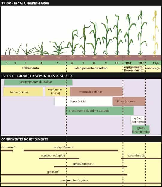 Escala fenológica do trigo