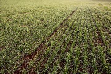 plantio de trigo