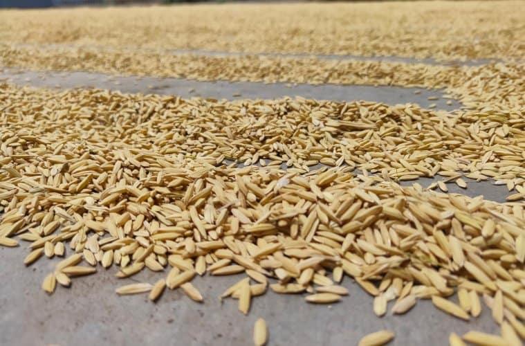 secagem do arroz