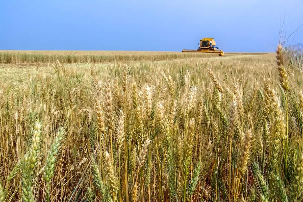 tudo sobre o trigo