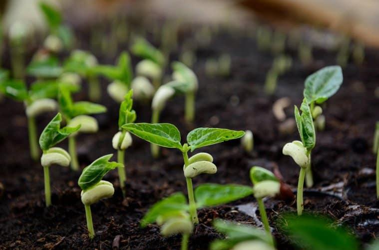 plantio de feijão