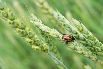 pragas do trigo