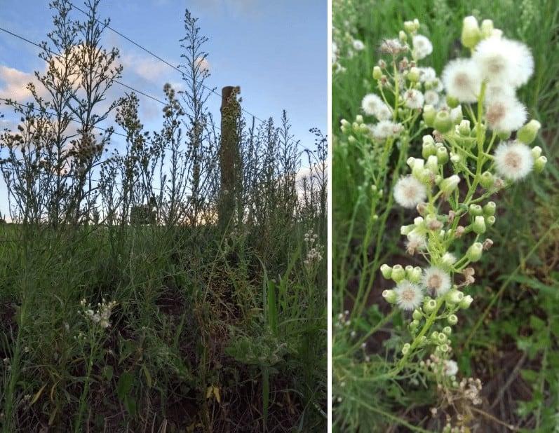 Plantas de buva (Conyza spp.)