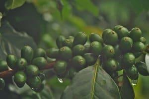 broca-de-café