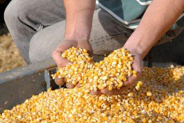 colheita do milho safrinha
