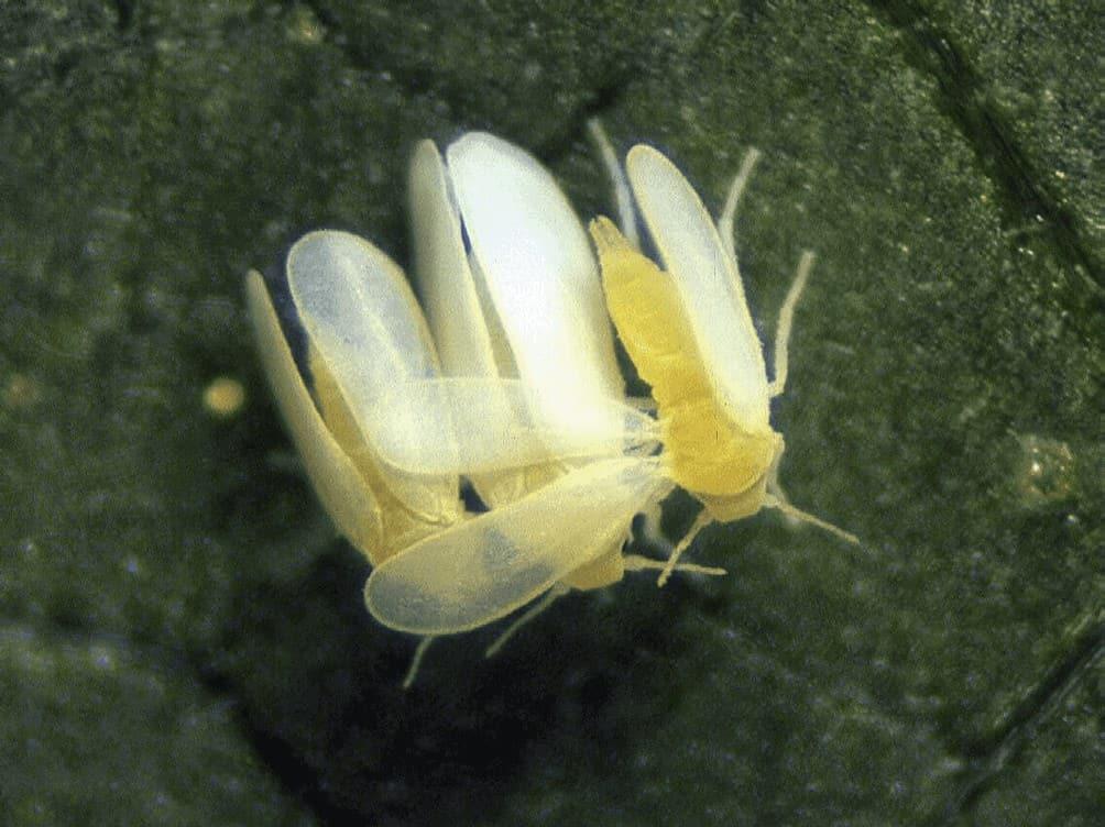 mosca-branca