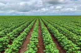 herbicida para algodão