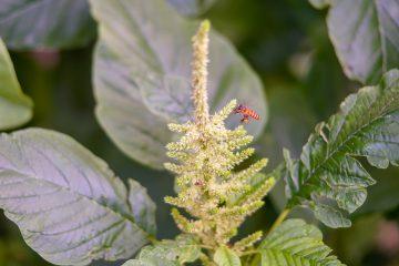 manejo de Amaranthus hybridus