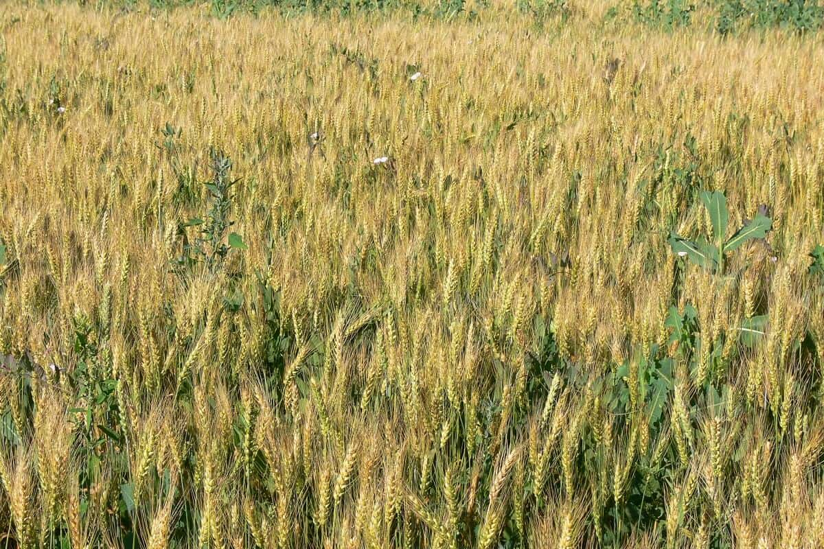 plantas daninhas do trigo