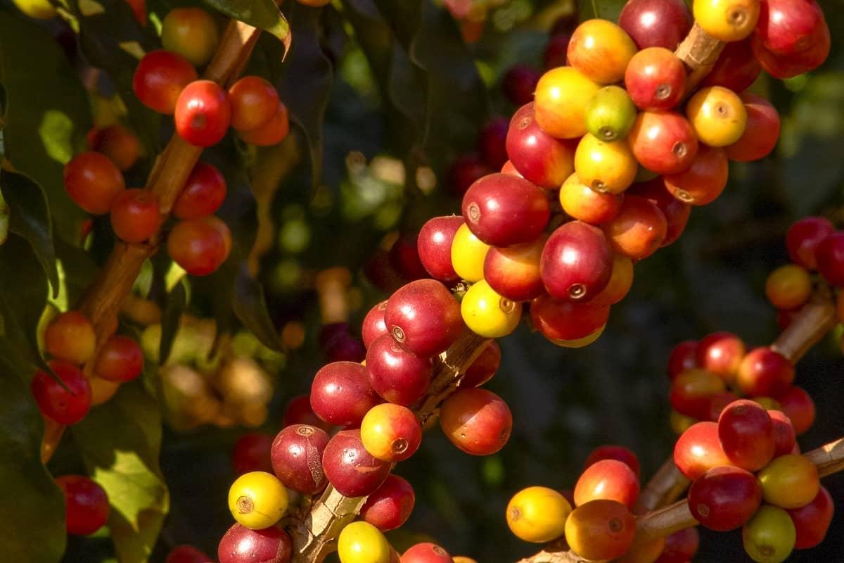 variedades de café mais produtivas