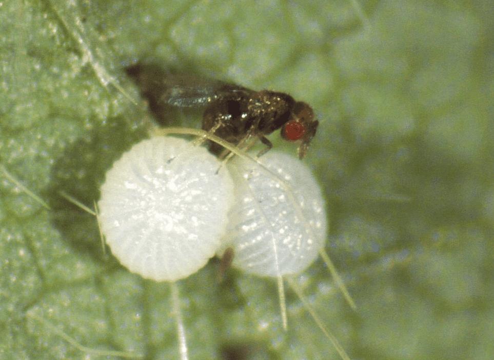 Trichogramma pretiosum parasitando ovo de lepidoptera