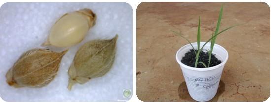 duas fotos representativas do Echinochloa colona (capim-arroz)