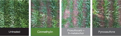 Eficiência do herbicida Luximo (Cinmethylin) no controle de azevém resistente na cultura do trigo