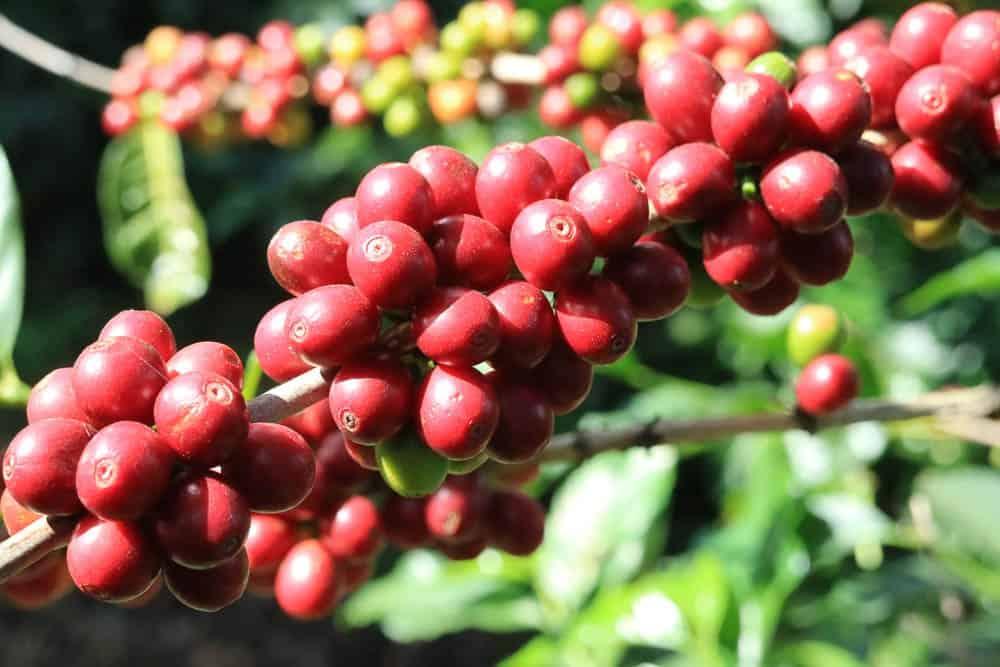 Cafés no ponto ideal para colheita