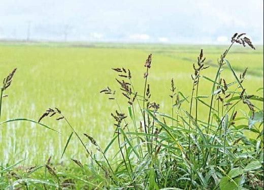Echinochloa crus-galli (capim-arroz)