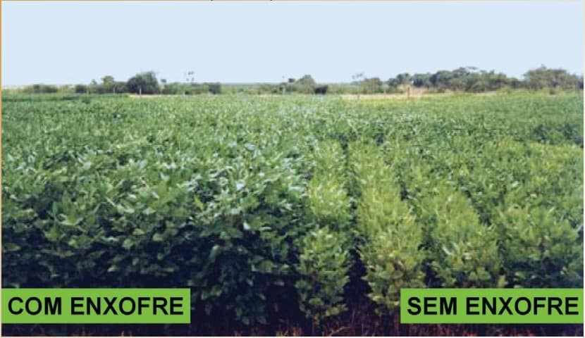 diferença de plantas com e sem enxofre