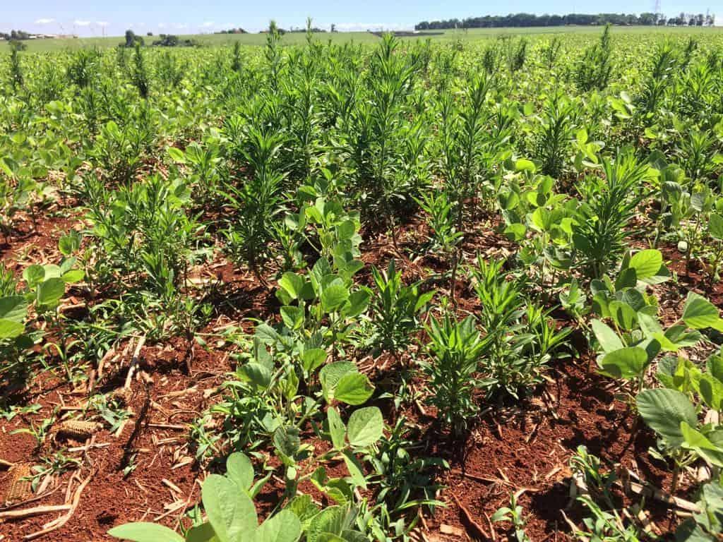 Infestação de buva em plantação de soja na região do oeste do Paraná