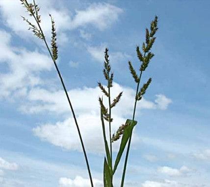 Echinochloa crus-pavonis (capim-arroz)
