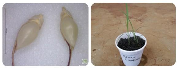 Duas fotos representativas da Echinochloa crus-pavonis (capim-arroz)