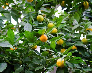 laranja pêra