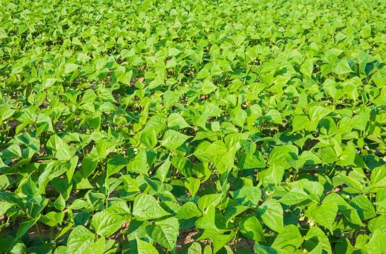 semeadura do feijão