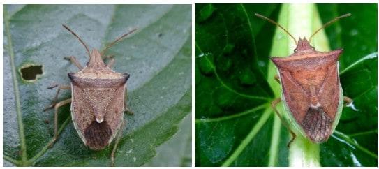 foto de adultos de Dichelops melacanthus e Dichelops furcatus