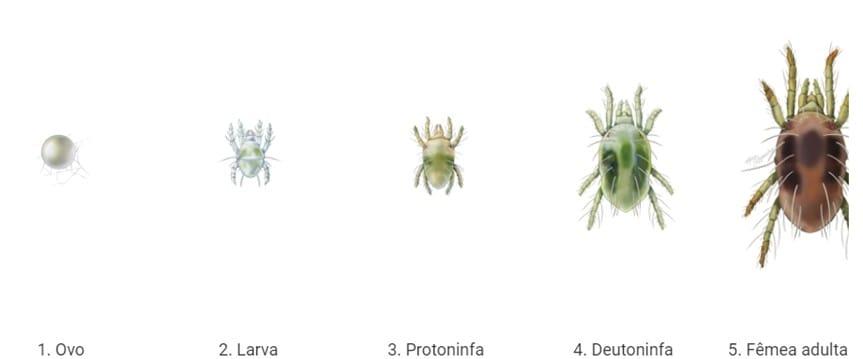 ilustração com Fases do ácaro-rajado Tetranychus urticae passando por ovo, larva, protoninfa, deutoninfa e fêmea adulta.