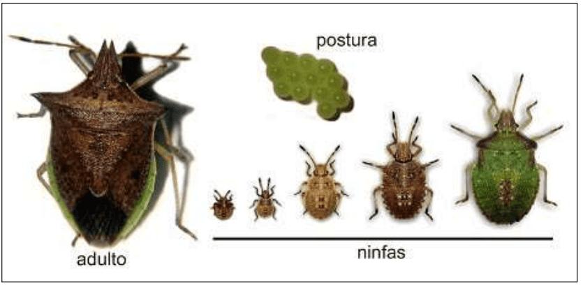 ilustração com diferentes estágios do percevejo-barriga-verde