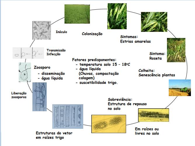 infográfico com Ciclo do mosaico comum do trigo e da Polymyza graminis