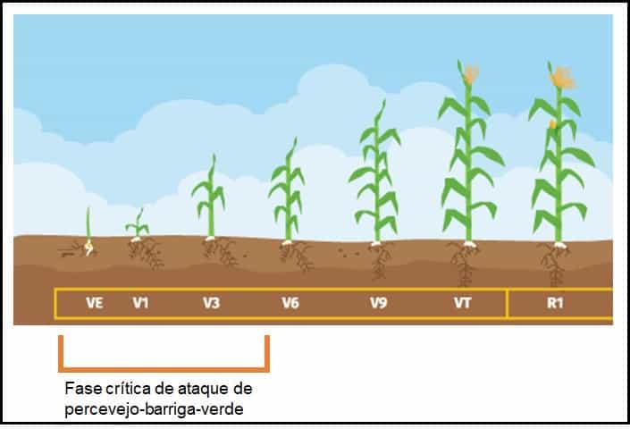 percevejo no milho - ilustração que mostra parte do ciclo do milho com destaque para a fase crítica de ataque do percevejo-barriga-verde (VE a V5)