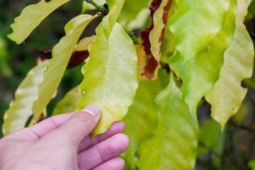 fitotoxicidade de herbicidas no café