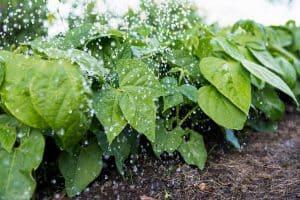 irrigação de feijão
