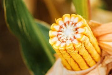 melhoramento genético do milho