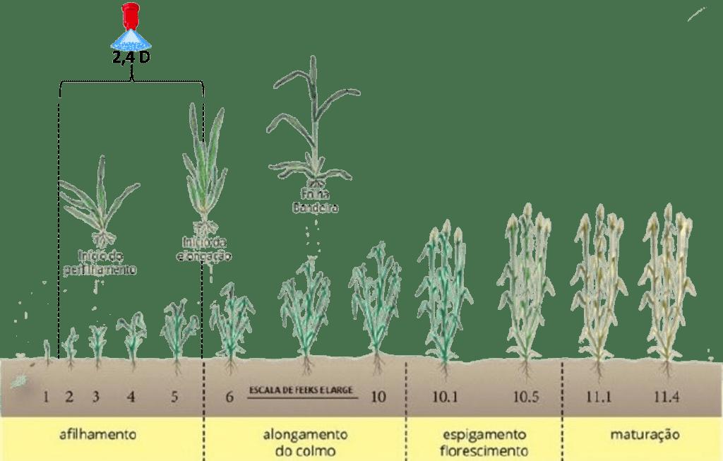 infográfico de estádio ideal de aplicação de 2,4 D em trigo