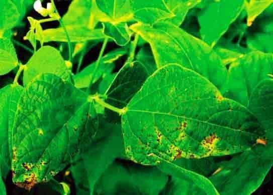 foto de crestamento bacteriano comum em folhas de feijão