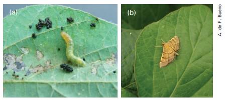 uma foto ao lado da outra, em uma tem a lagarta e na outra adulto da lagarta enroladeira das folhas
