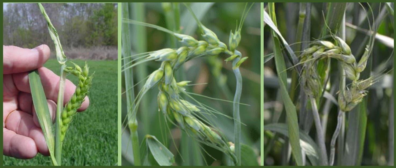 três fotos que mostram sintomas de fitointoxicação de 2,4 D no trigo