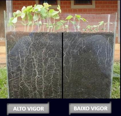 Foto com estabelecimento de plantas provenientes de sementes com vigor diferente