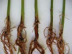 foto de podridão radicular seca no feijoeiro
