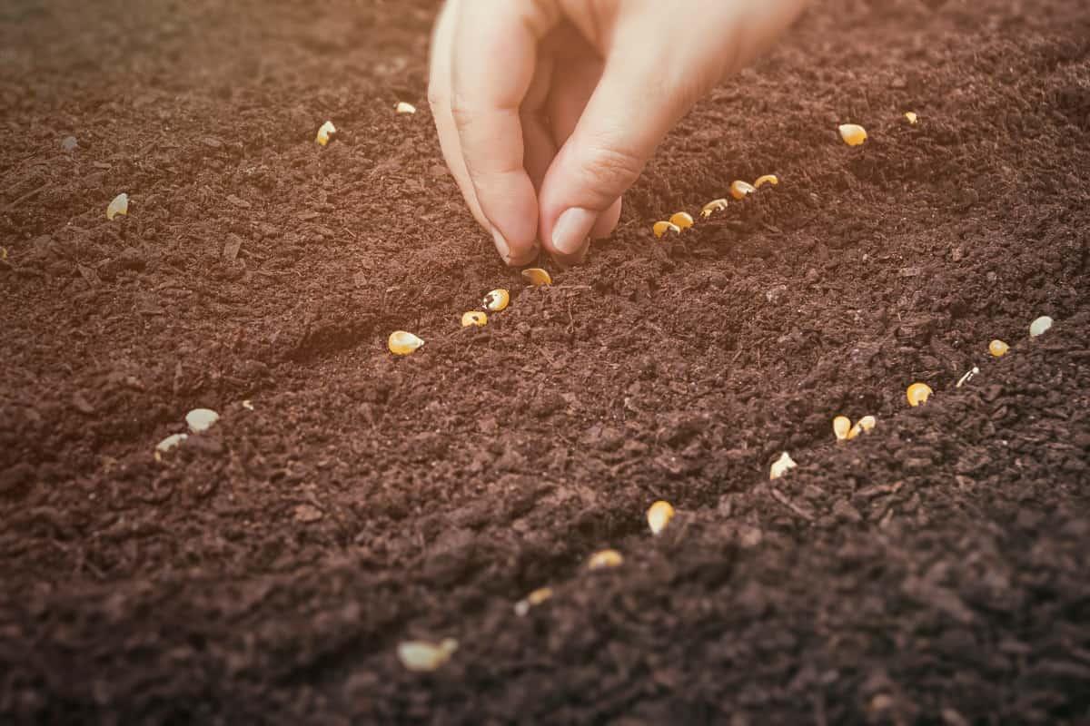 qualidade de sementes